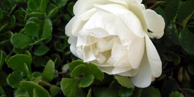 Долгожданные цветы
