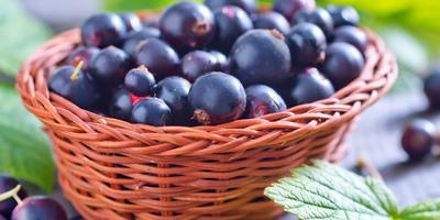 7 секретов хорошего урожая чёрной смородины