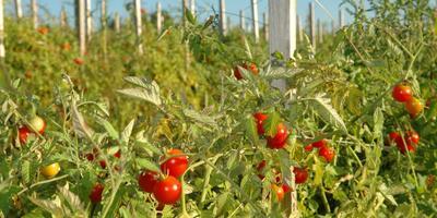 Сезонные работы в саду и огороде: четвертая неделя июля