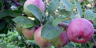 Сезонные работы в саду и огороде: первая неделя августа