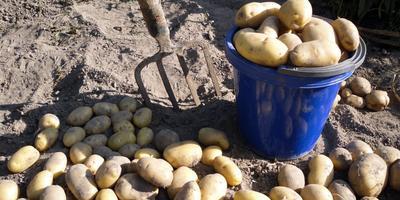 Когда и как копать картошку