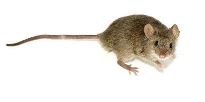 Эффективные средства от мышей на даче