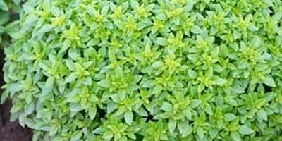 Травы для домашних специй