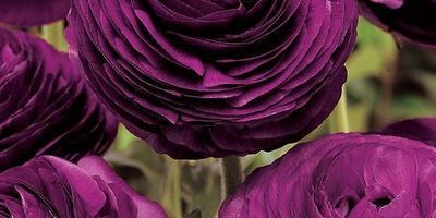 Ранункулюс – цветы невест