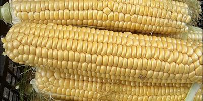 Кукуруза и полезна и вкусна!