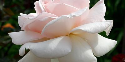 """14 красивейших устойчивых к """"мучнистой  росе"""" роз"""
