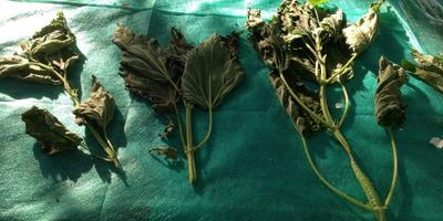 В борьбе с сорняками начинаю заготовку сырья!