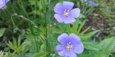 Ура! Взошли! Прекрасные голубые цветки льна!