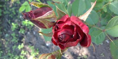 Не порадовали розы