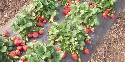 6 лучших ремонтантных сортов садовой земляники