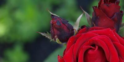 Словно из бархата розы