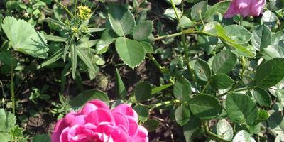 Кустовые ярко-розовые розы