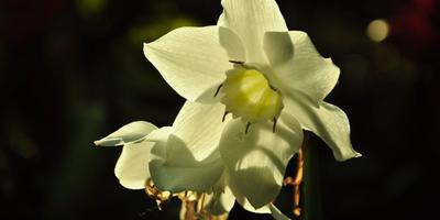 Как вырастить амазонскую лилию, или Все об эухарисе