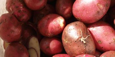 Вкусный розовый картофель