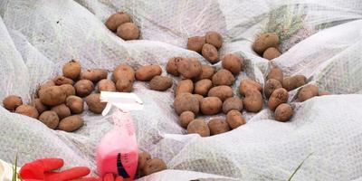 Инсекто-фунгицидный протравитель для клубней картошки