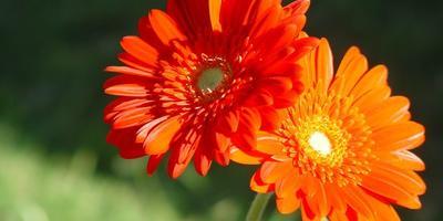 Гербера: выращивание, уход, сорта и профилактика болезней.