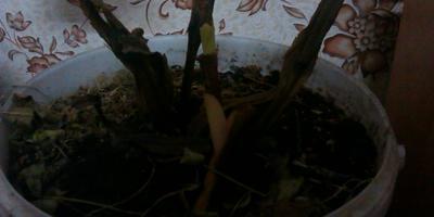 Мои канны наконец вылезли из подполья.