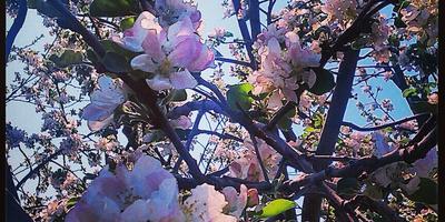 Как наш сад отпраздновал весну