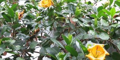 Соландра большая – экзотическая лиана