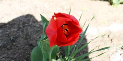 """Страаааашно"" красивые тюльпаны)))"