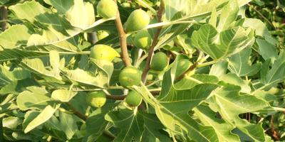 Инжир - фиговое дерево.