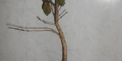 Приморозилось кофейное дерево, отойдёт?