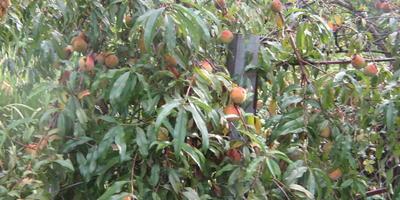 Урожай персиков.  Персиковое варенье