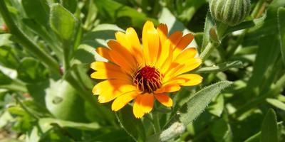 Как выбрать растения для аптекарского огорода