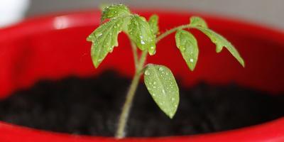 Технологии выращивания помидоров. Размышления об опыте известных огродников