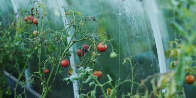 Технологии выращивания помидоров. Размышления об опыте известных огородников