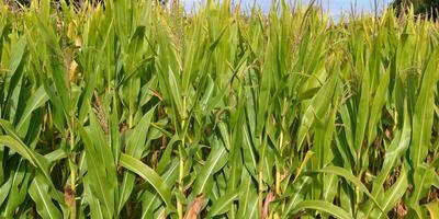 Кукуруза - защитница огурцов