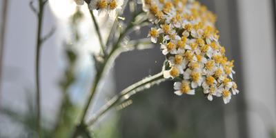 Фитоаптека для растений: лекарства растут по соседству