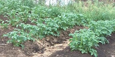 Сорта картофеля Импала, Бриз, Никита