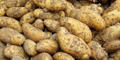 Как и когда не поливать картошку