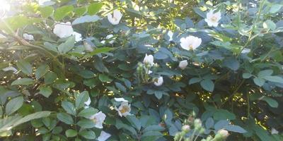 Шиповник из парковой розы