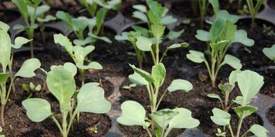 Как поливать рассаду при высадке в грунт