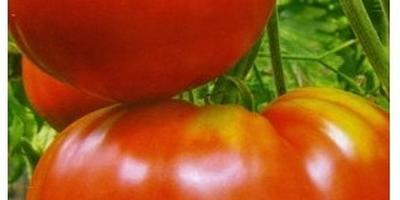 Под каким созвездием помидоры растут лучше