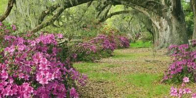 Азалия - тенелюбивая красавица. Посадка азалии, выращивание и уход