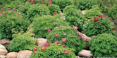 Пионы для горок и каменистых садов