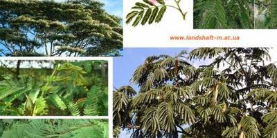Самое быстрорастущее дерево