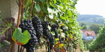 Секреты виноградных косточек.