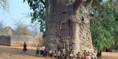 Самое толстое дерево в мире