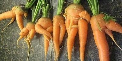 Чтобы морковка ровной была