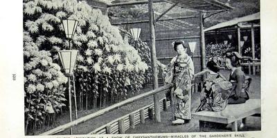 История любви японцев к хризантемам