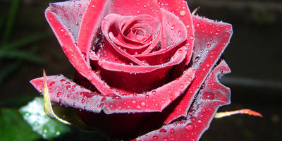 Чёрная магия, царица роз