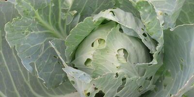 Как избавиться от капустных блошек без применения химии?