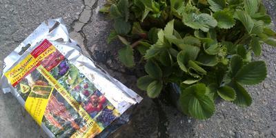 Секреты успеха, или Как получить отличный урожай садовой земляники