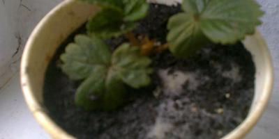 Садовая земляника вне сезона
