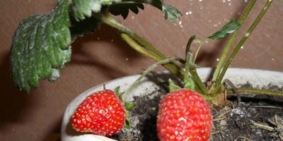 Как успешно вырастить садовую землянику в комнатных условиях