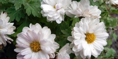 Как сохранить хризантемы до весны?